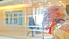 Skeleton model with a clear skull reveals different parts of the human brain
